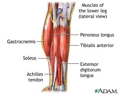 lower-leg-muscles-picture-c
