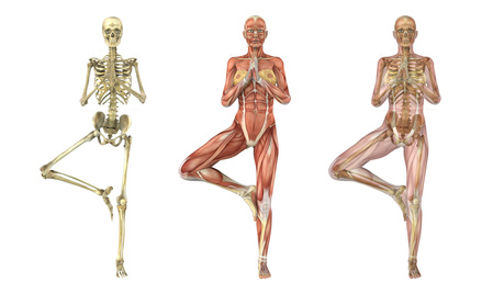 A woman stands in a yoga tree pose, anatomical overlays -  these images will line up perfectly,  and can be used to study anatomy - 3D render.