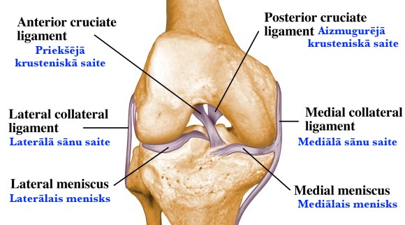 Ligaments-of-the-knee